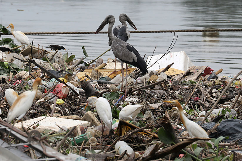"Birds search for food on trash collected by a log boom on a river in Klang, Malaysia, on World Environment Day, June 5, 2020. The theme of World Environment Day 2020 is ""Celebrate Biodiversity."" CNS photo/Lim Huey Teng, Reuters"